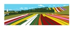 Tulip Farm Panorama